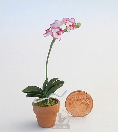 orchid, pink in a pot